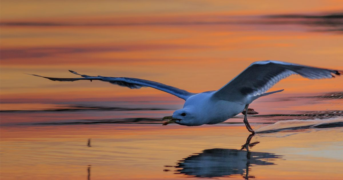 Seagull flies low over the water touch their feet onto the orange sunset surface.