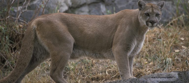 Trophy hunting of cougars may increase cougar-human conflict, study finds