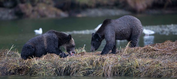 Subadult grizzlies feeding together on the BC coast.