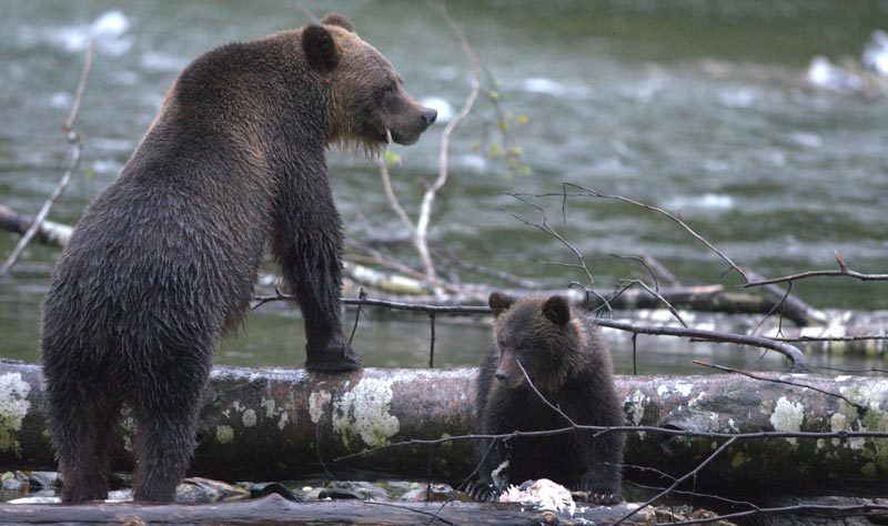 A grizzly and her cub stand over a tree trunk on the shores of the Great Bear Rainforest.