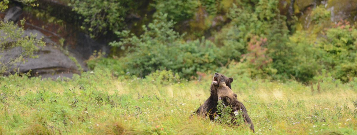 Great bears playing in the long grass on the central coast of BC.