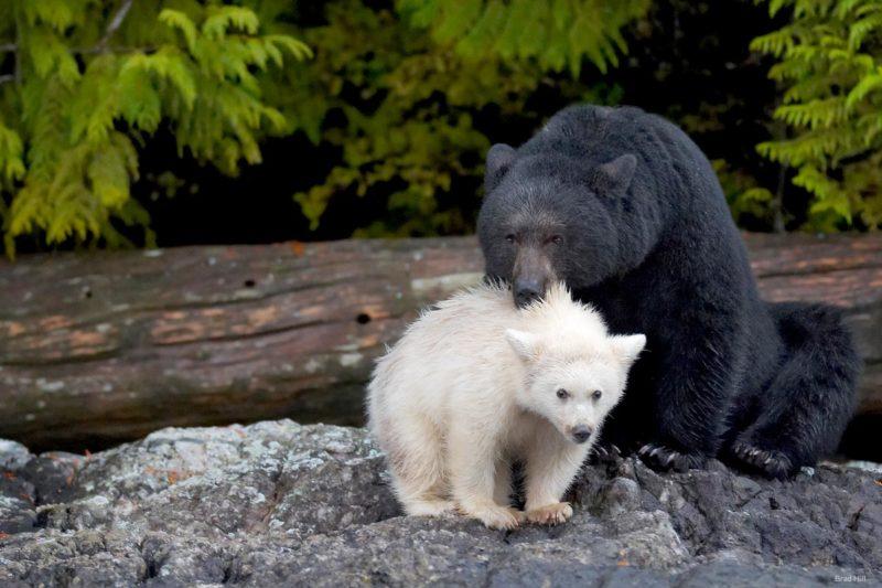 A black bear stands with her Spirit bear cub