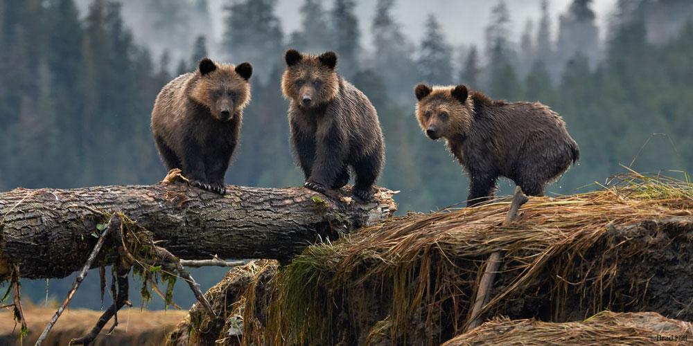 Three bears standing on a log.