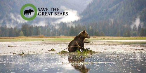 A Grizzly Bear sits down in the middle of a tidal flat in the Great Bear Rainforest.