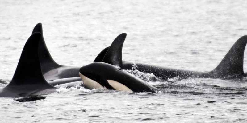 Killer whales in a tight formation on the BC coast.