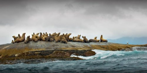 Sea lions in the Great Bear Rainforest