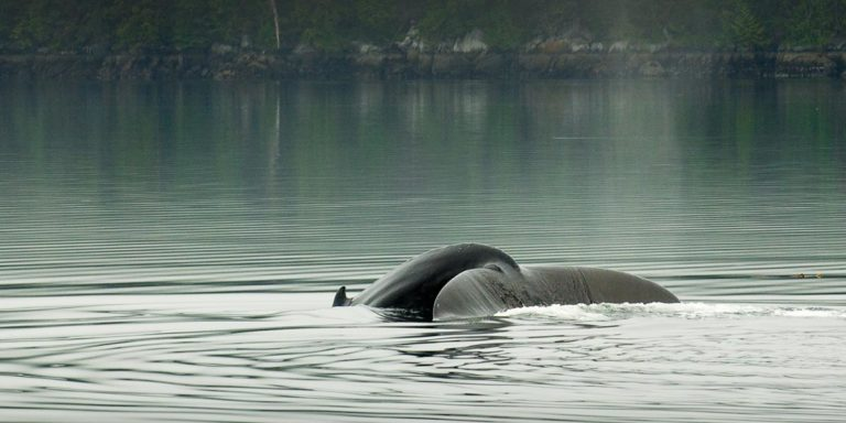 BC's marine mammals vulnerable to oil spills – especially killer whales