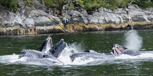 Whales eating close to the shore on the North Coast of the Great Bear Rainforest.
