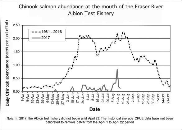 A graph of Chinook salmon abundance at the mouth of the Fraser River Albion Test Fishery.