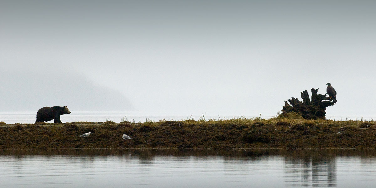 A grizzly bear on BC Coast stops to face an eagle.