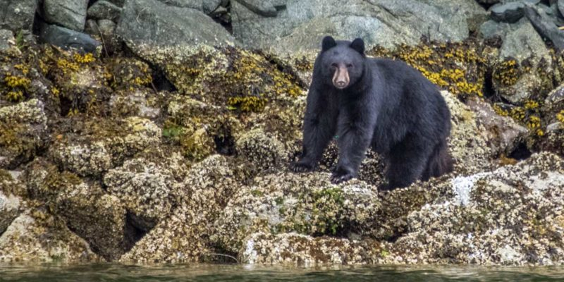 A black bear stares out from the intertidal zone on the BC coast.
