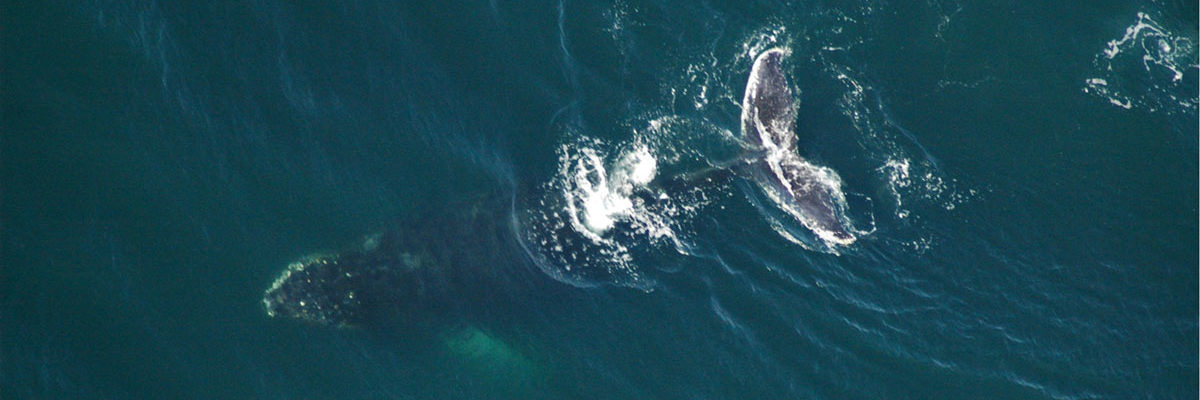 Aerial view of a humbpack whale.