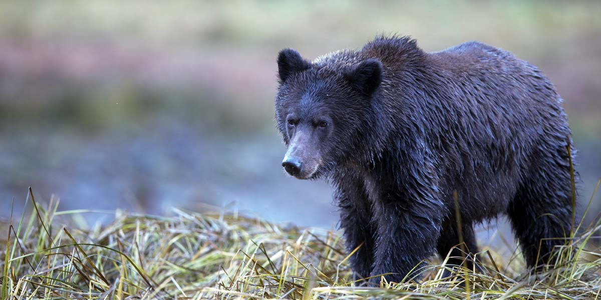 A grizzly bear stands in the grass near the shallows of the Great Bear Rainforest, in Canada.