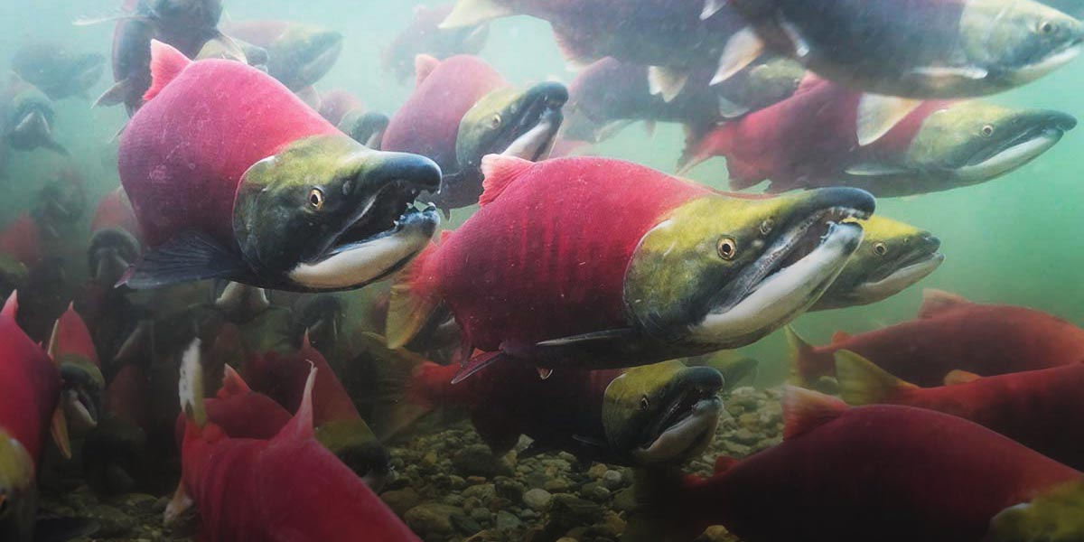 Sockey salmon with bright red bodies swimming upstream in the Great Bear Rainforest.