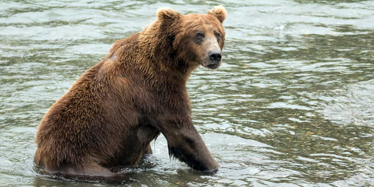A grizzly bear sits down in the shallow water on the BC Coast.