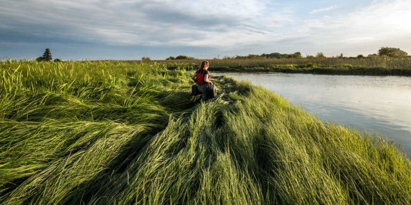 A Raincoast scientist walks through the tall grass to get to the shores of the Lower Fraser for salmon testing.