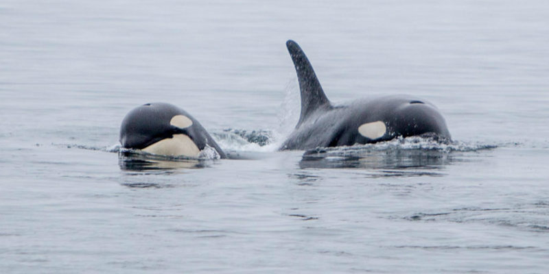 Two southern resident killer whales approach in the Salish Sea.