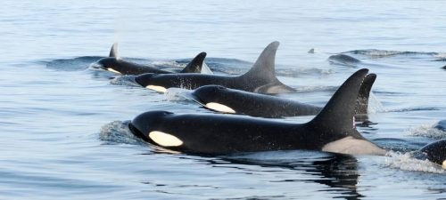 Southern Resident Killer Whales in the Salish Sea.