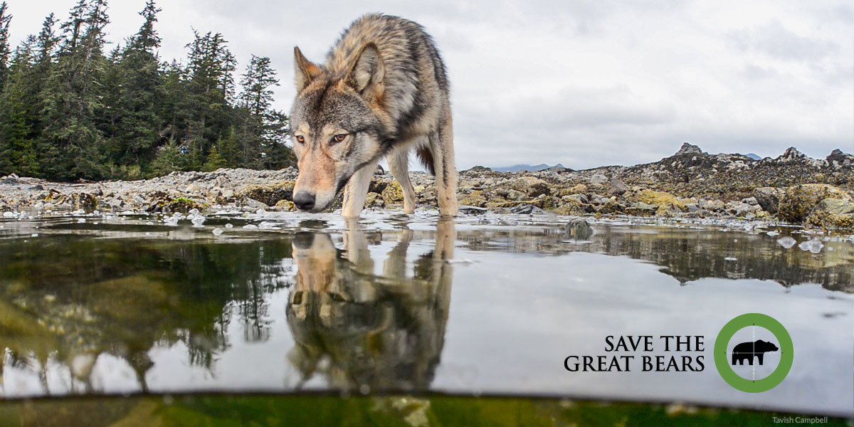 A wolf bends low over an intertidal pool and their reflection stands out in the water.