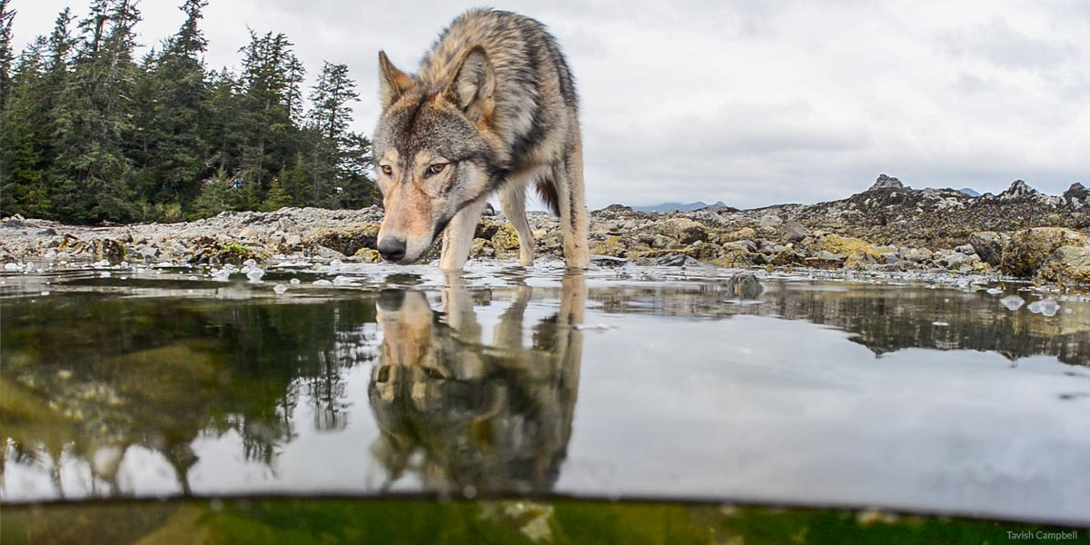 A wolf lies down in the sand on the central coast of BC.