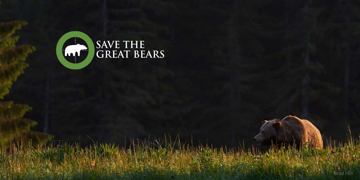 A grizzly bear wanders over the grassy shores of the Great Bear Rainforest.