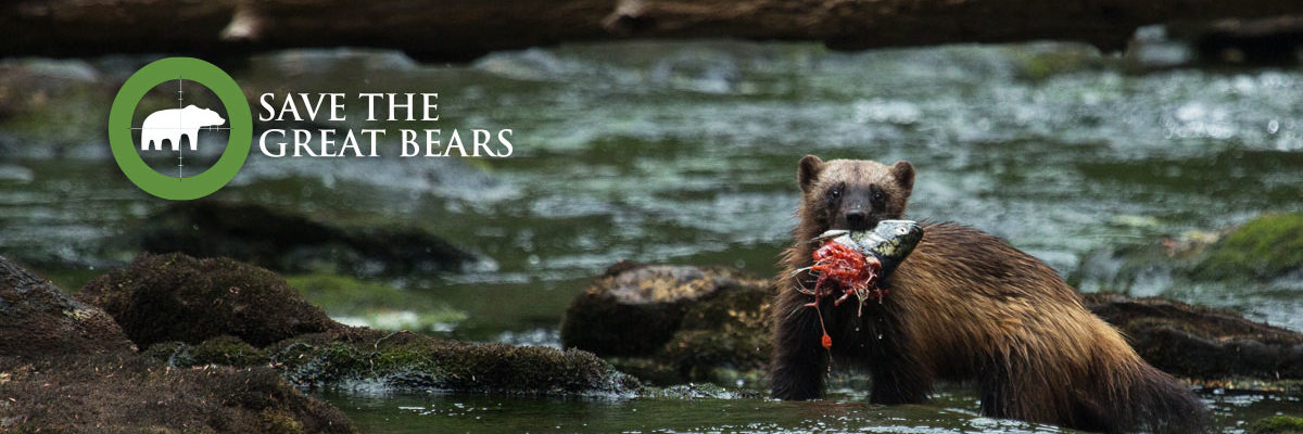 A wolverine stands in a stream below a log overhead, with a salmon head hanging from its mouth.