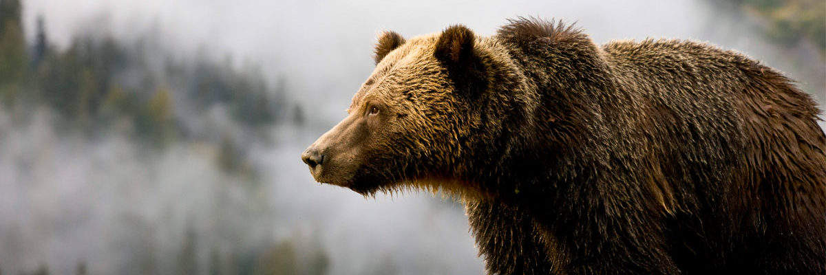 A grizzly bear looks out over the misty forests of the Great Bear Rainforest.