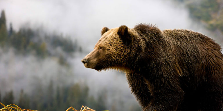 Jubilation over NDP decision to stop grizzly hunting in British Columbia