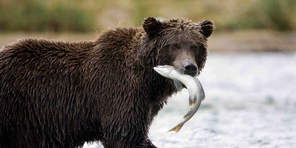 A grizzly stands in the river, in the rain, with a salmon flopping in their mouth.
