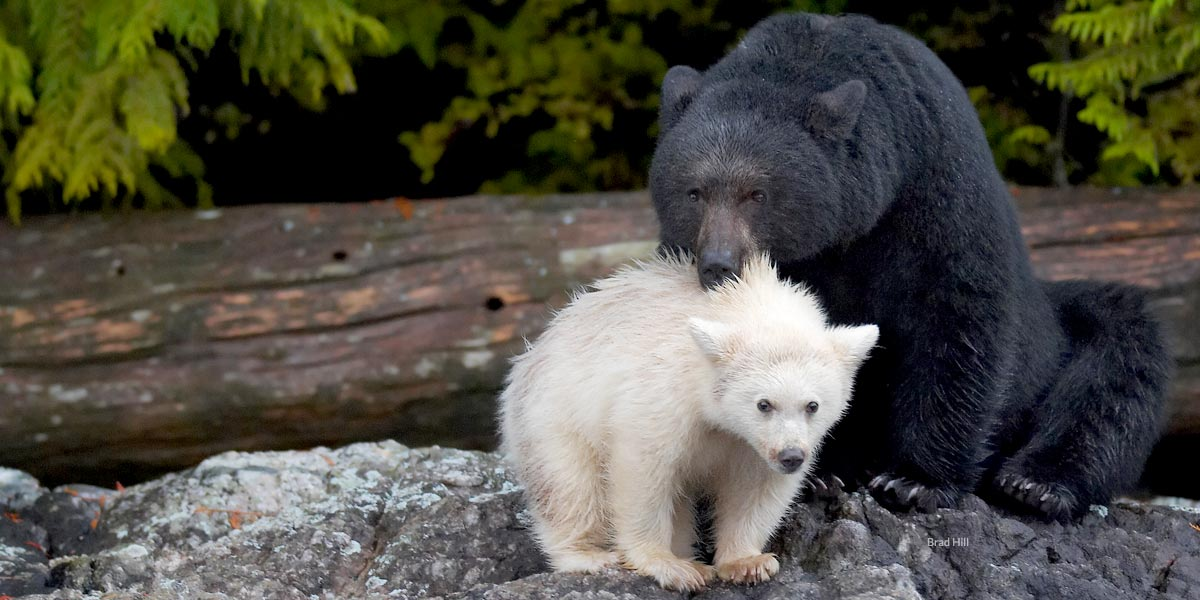 A black bear stands with her Spirit bear cub.