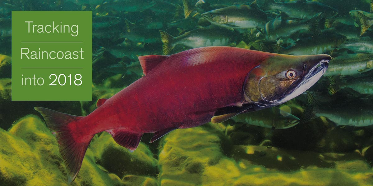 Tracking Raincoast into 2018: A bright red salmon sits rests on the bottom of a stream filled with fish.