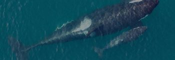 A killer whale mother and calf swim side by side (aerial view)
