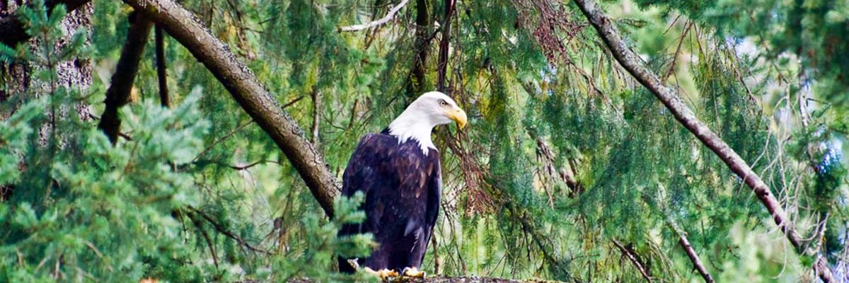 An eagle sits watching over a BC coastal stream.