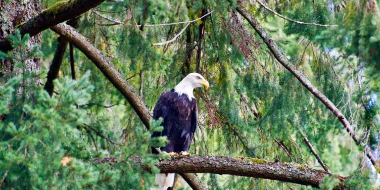 First rains bring spawners and bald eagles back to Vancouver Island rivers