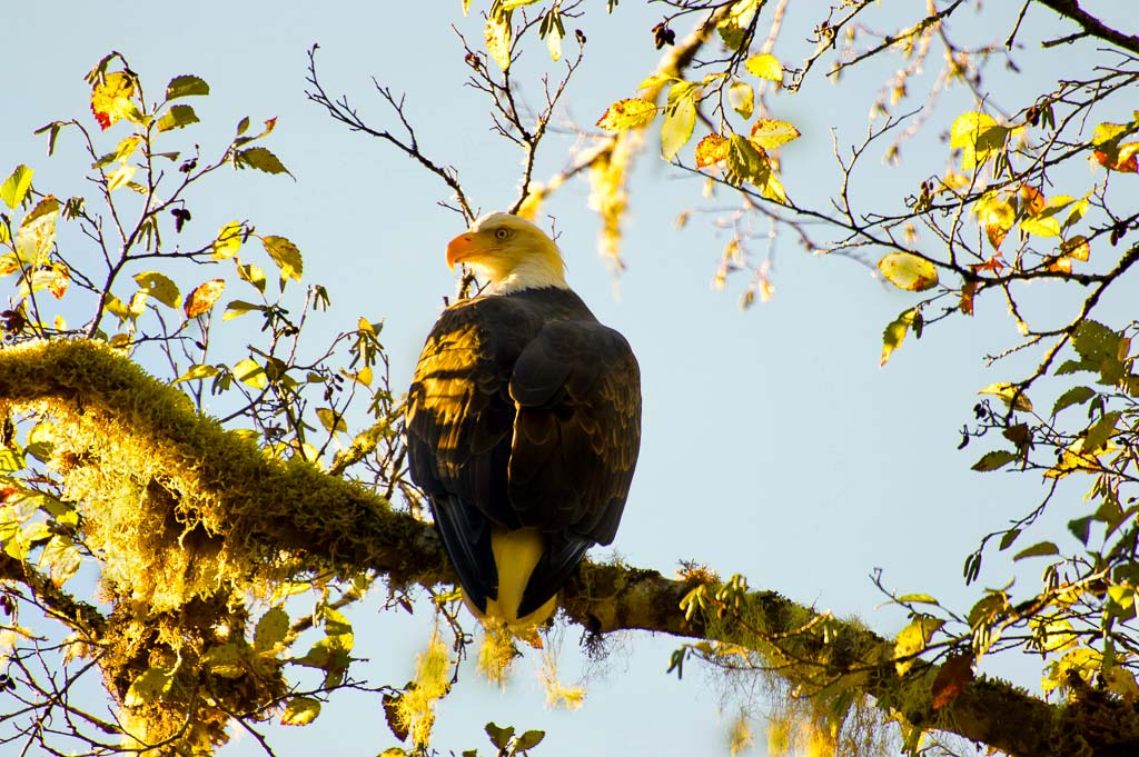 An adult bald eagle sits in a tree in the sunshine.