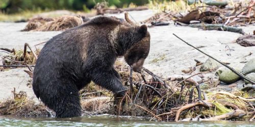 A grizzly bear pulls on some brush along the shoreline