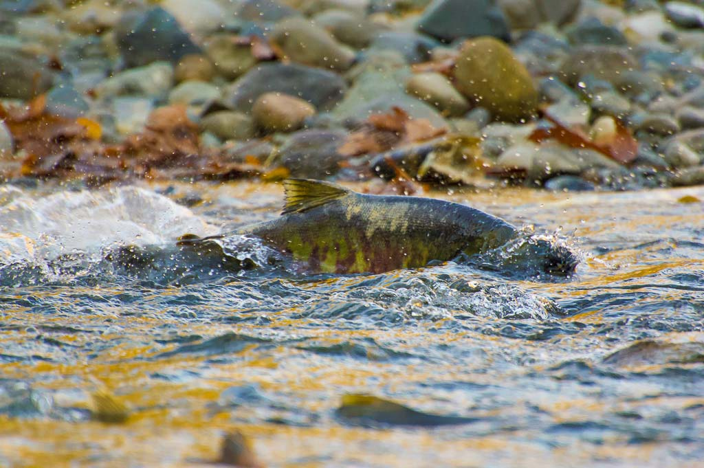 A salmon splashes in the shallow stream bed of the BC coast.