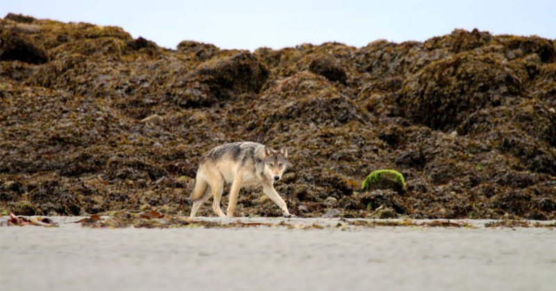 A wolf walks along a beach in an intertidal zone with its head lowered inquisitively.