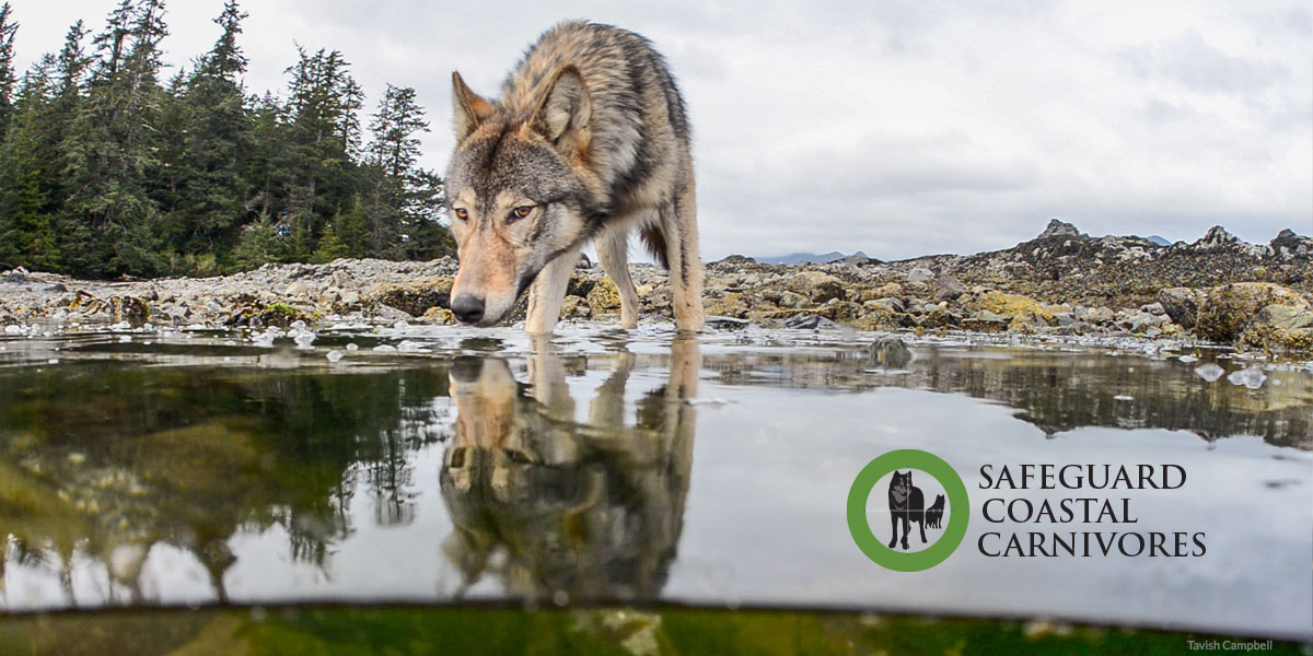 A wolf bends down to sniff the water in an inter tidal pool.