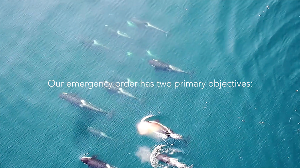 Southern Resident killer whales swim side by side, as seen from the air.