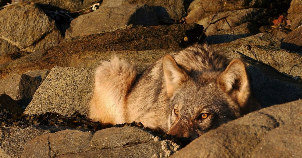A wolf hunkers down and watches outwardly in a rock outcropping and their colour is remarkably similar.