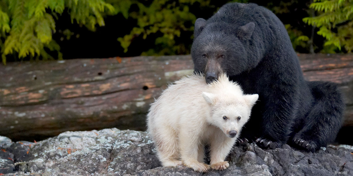 A mother black bear stands beside her white cub.