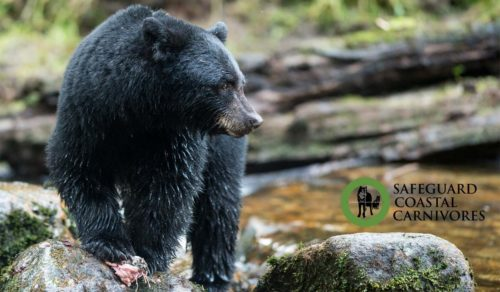 A black bear meanders over the rocks and streams in the Great Bear Rainforest.