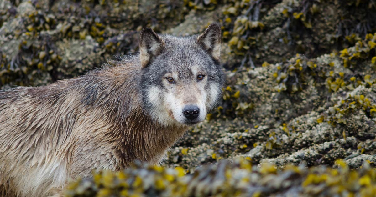 Wolf stands in the intertidal zone amidst the rock and seaweed, looking at the photographer, Kyle Artelle.