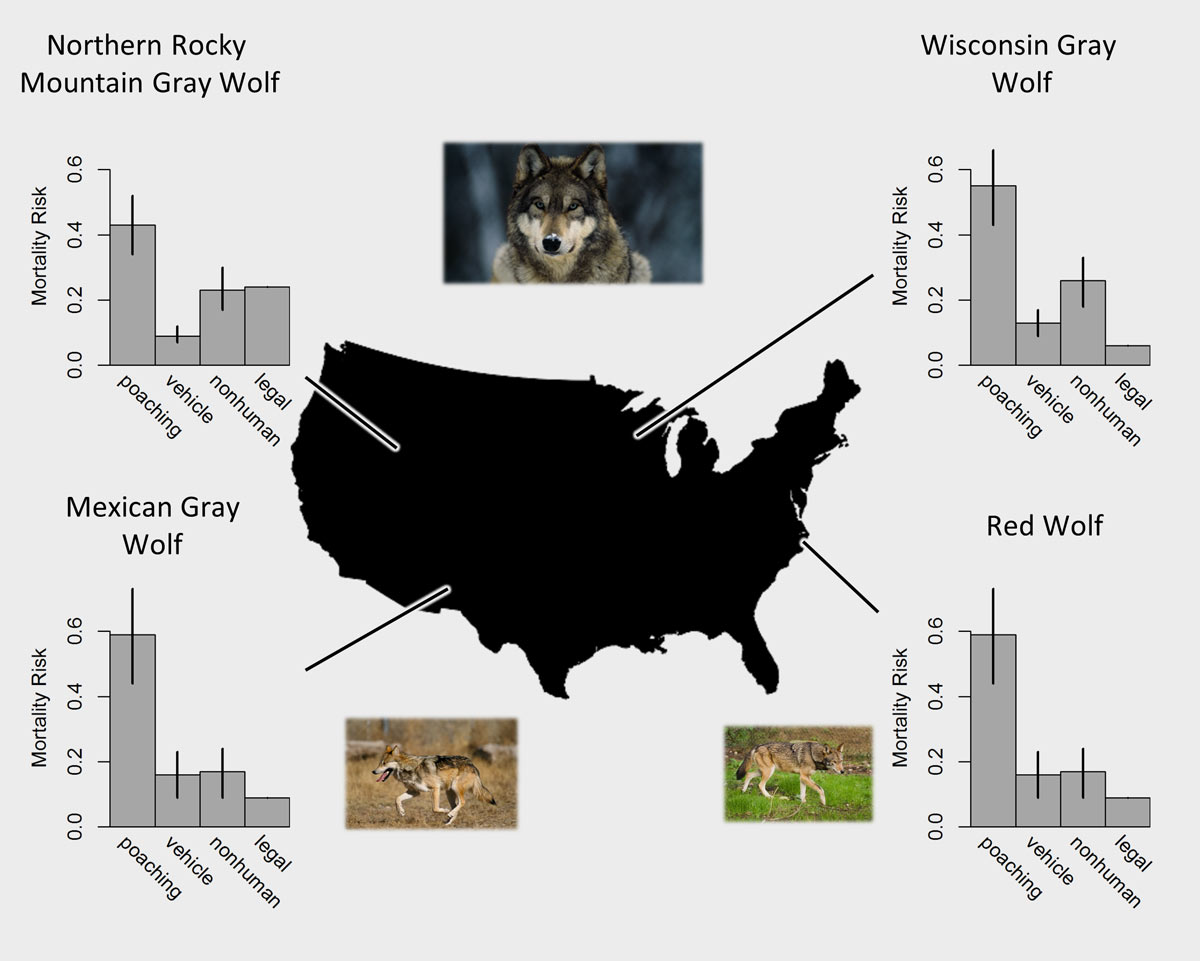 Endangered wolves (gray: Canis lupus, Mexican gray: C. l. baileyi, and red: C. rufus) and risk of mortality from poaching as a proportion of all deaths.