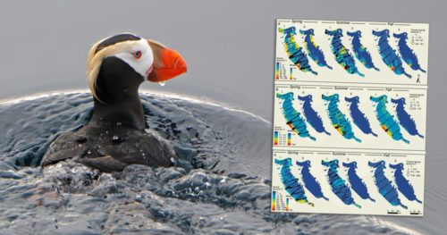 Maps of marine birds distributions and densities overlaid onto a tufted puffin.