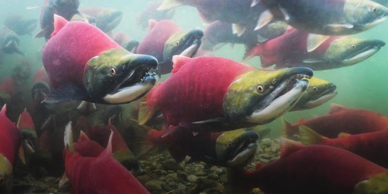 Sockey Salmon swim in a tight formation, with bright red bodies.