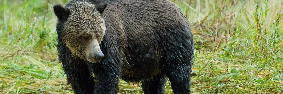 A grizzly bear meanders in the Great Bear rainforest.