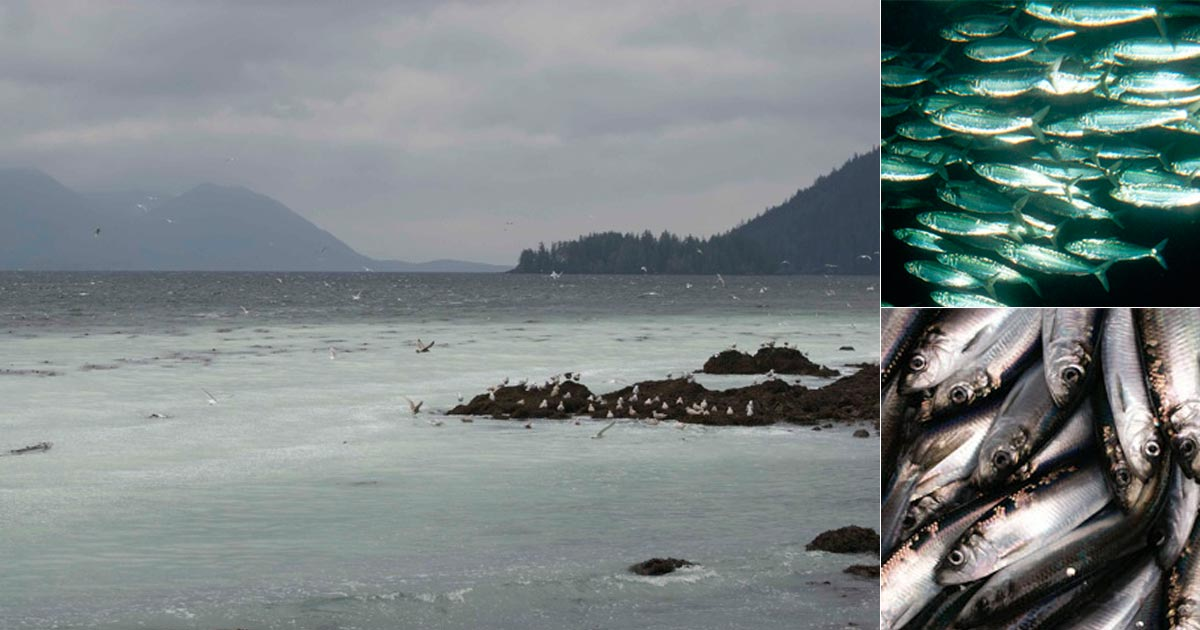 Waters of the Great Bear Rainforest turn a milky turquoise with Pacific herring during spawning.