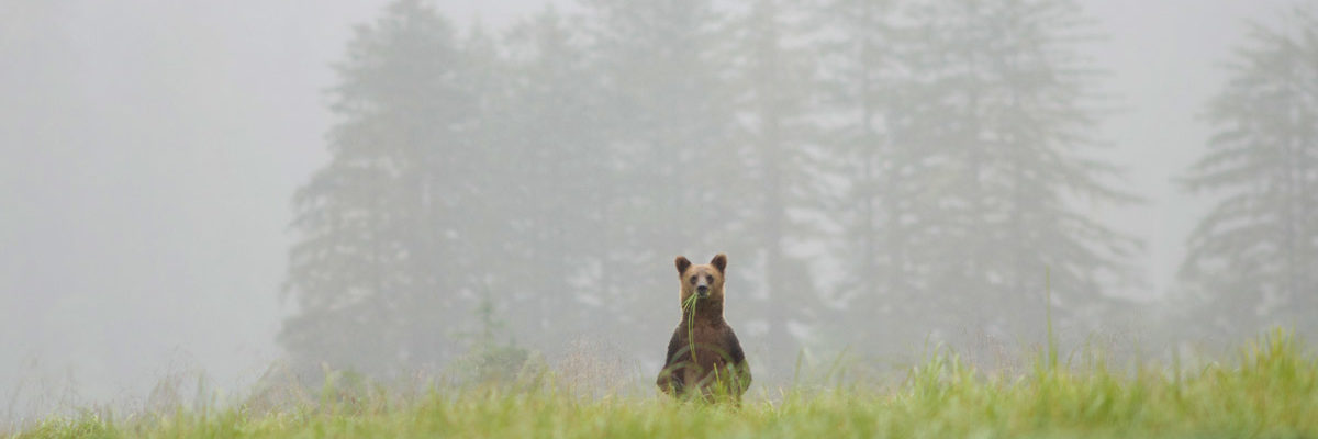 A bear stands in the distant grass and fog to get a better look or maybe smell.